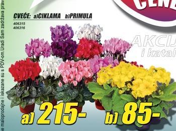 Cveće Ciklama