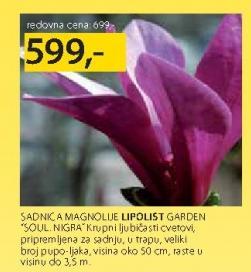 Sadnica Magnolije