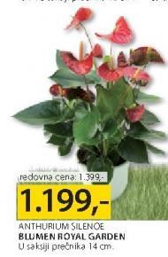 Cveće Anthurium Silenoe
