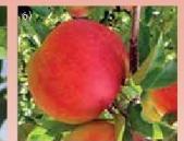 Sadnica jabuke