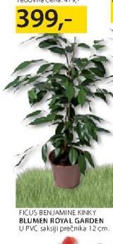 Cveće Ficus Benjamine kiky