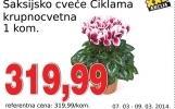 Saksijsko cveće ciklama