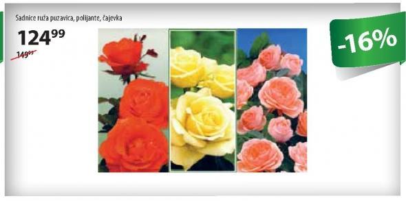 Sadnica ruže