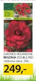 Lukovice Begonia Double Red