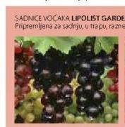 Sadnica vinove loze