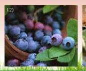 Sadnica borovnice