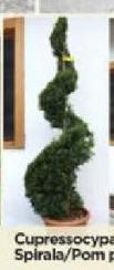 Cupressocyparis Spirala
