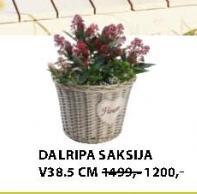Saksija DALRIPA