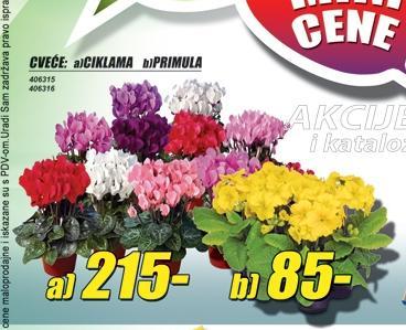 Cveće Primula