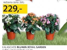 Cveće Kalanchoe
