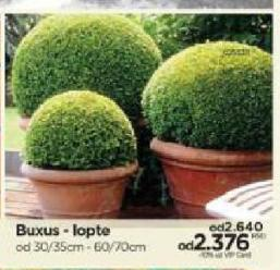 Buxus - lopte