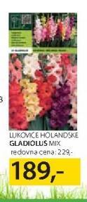 Lukovice gladiolus Mix