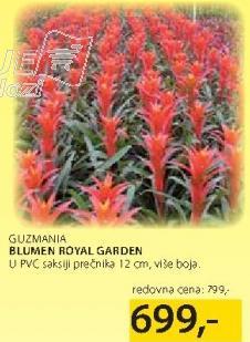 Cveće Guzmania